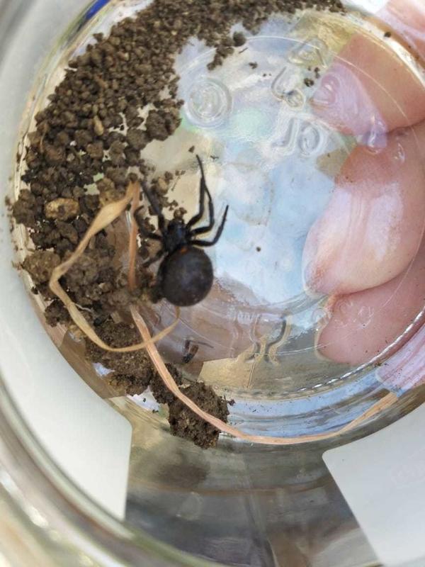 Вот такие пауки у нас в теплице. Живут в земле.