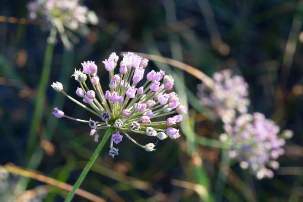 Фотография цветущего растения  сделана в первых числах июля