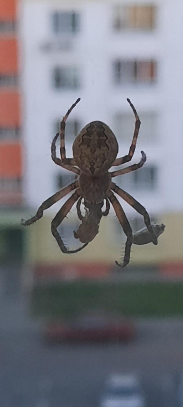 Подскажите что за паук, страшно открывать окно на проветривание