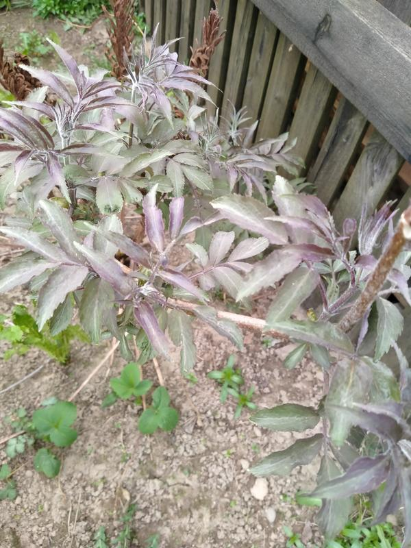 Зелено фиолетовые листья