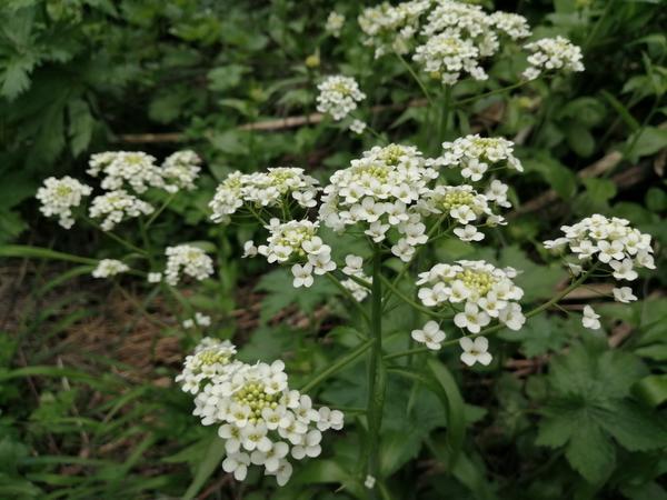 На фотографии растение, которое обнаружили в горах.  Цветет уже в мае. Аромат удивительный.