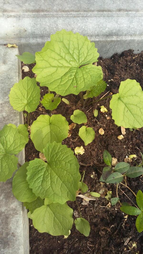 Выросло растение с круглыми листьями, не знаю, может сорняк.