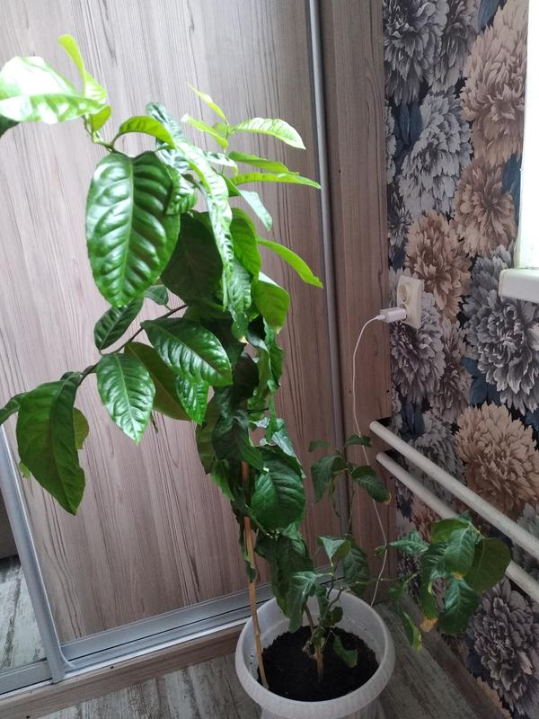 Растение больше метра высотой, возраст 4 года, только стал ветвиться, в прошлые годы две веточки развившиеся из семедольных листочков на них крупные шипы возле каждого листочка. Любит солнце, на солнце активно растет, зимой не выпускает листочков. Горшок пустой стоял на балконе и Толи дети в него что то затолкали, Толи ветром надуло, но вот вырос этот товарищ . Помогите , уважаемые знатоки. Ещё запах у листочков очень специфический, резкий если потереть.