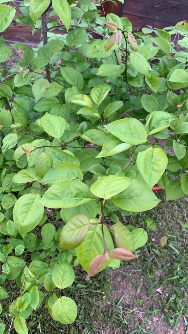 Растёт как кустики, возможно многомтвольное деревце. Подскажите что это за растение.