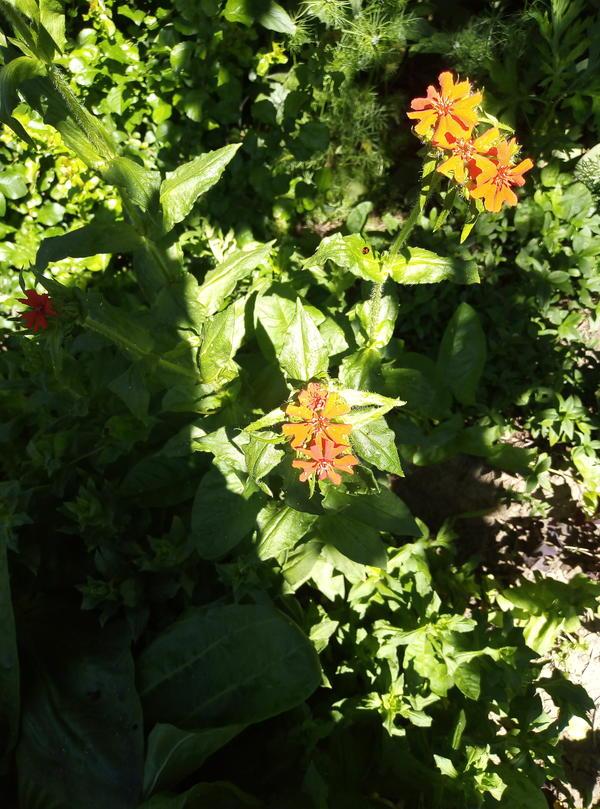 Так какое это всетаки растение? Я уже поднимала этот вопрос, когда цветков не было - была версия, что это мелколепестник. А сейчас появились мелкие красные цветки. Яндекс сказал, что это ваточник