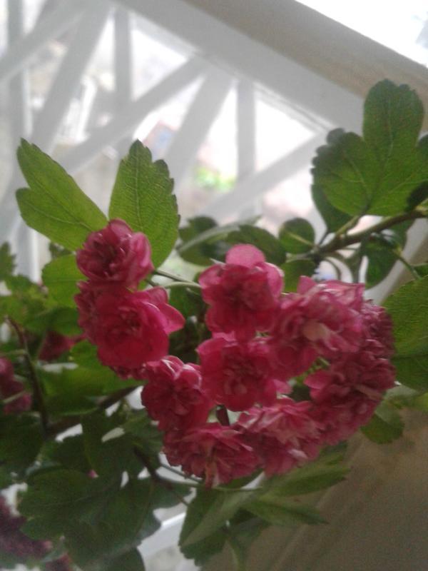 Растение в виде деревца , розовые махровые цветы, собранные в соцветия