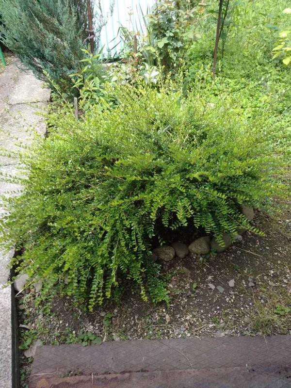Вечнозелёный кустарник с мелкими удлинёнными листочками, не цветёт.