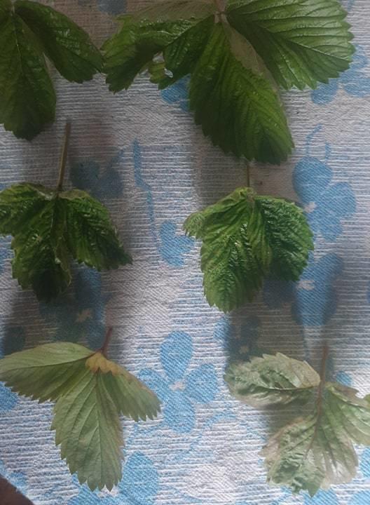 листья земляники