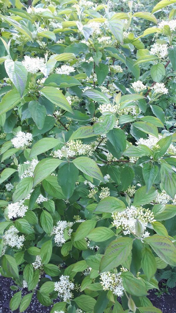 Куст с белыми маленькими цветами