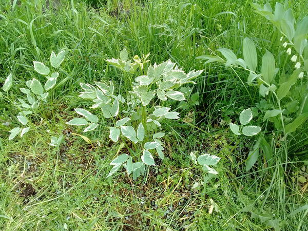 Травянистое растение,  на кустарник  непохоже