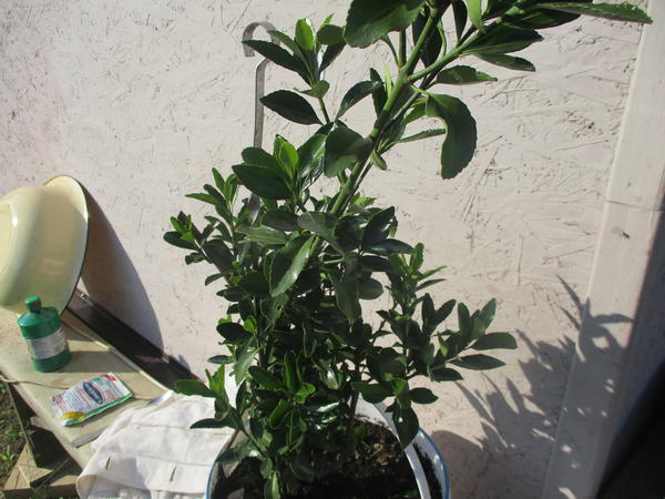 Растение с мелкими  тёмно-зелёными листьями, стебель древовидный