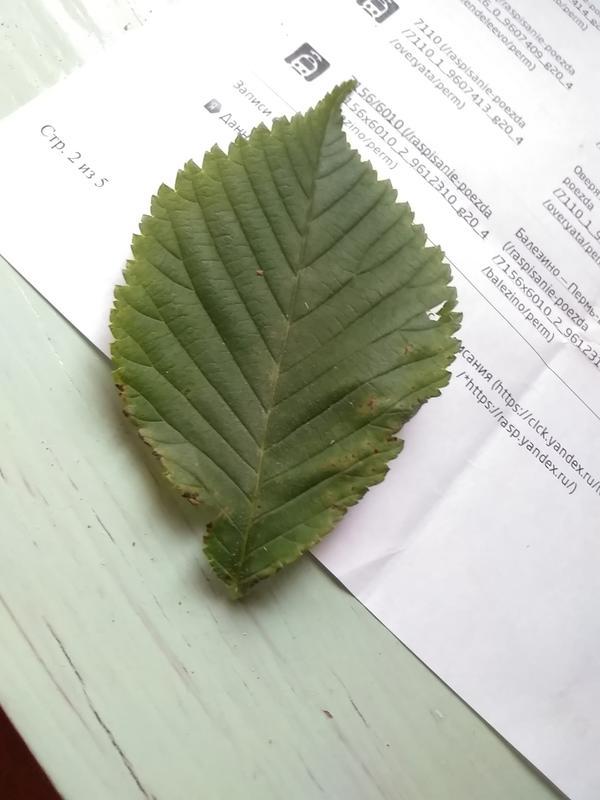 Листок от растения (куст или дерево). Какое?