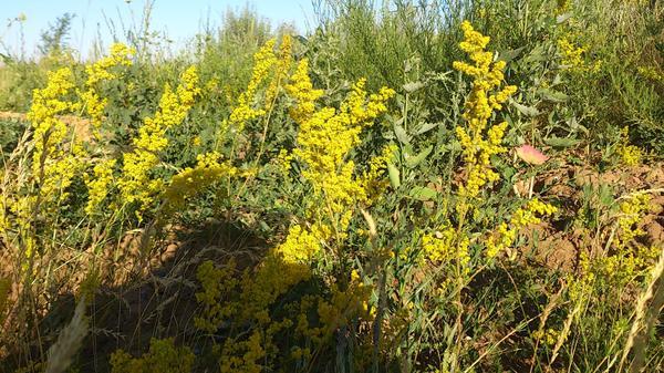 С жёлтыми цветами что за растение ?