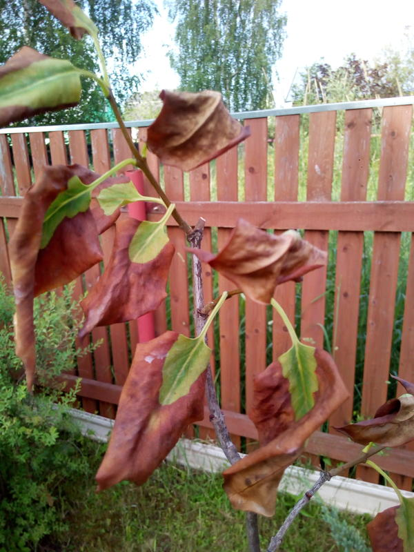 листья сирени почти полностью стали коричневыми