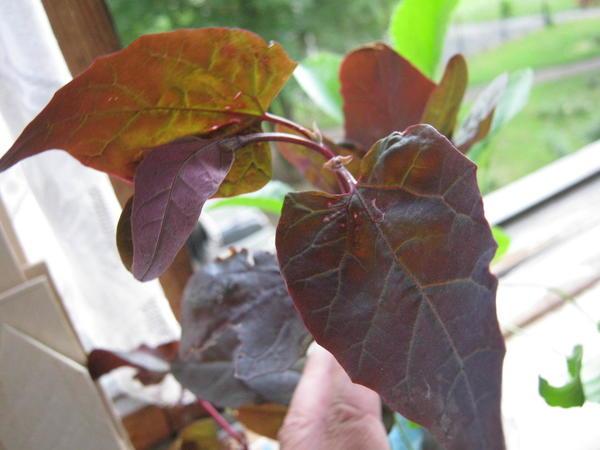 неизвестное растение, как называется?