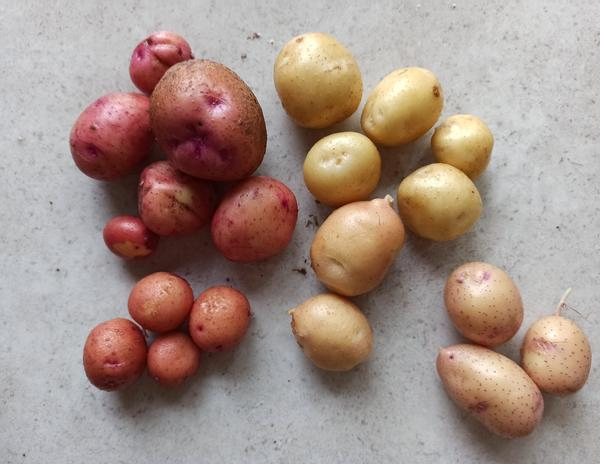 Уважаемые недавно купила дачу , помогите разобрать на фото: сколько сфотографировано сортов картофеля и как их название? Спасибо всем!:)