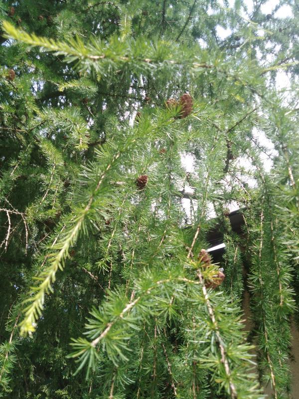 Подскажите пожалуйста что за хвойные деревья, и что интересного что на одном из них кончики веточек сизые, а на другом зелёные, что за дерево и почему разной окраски