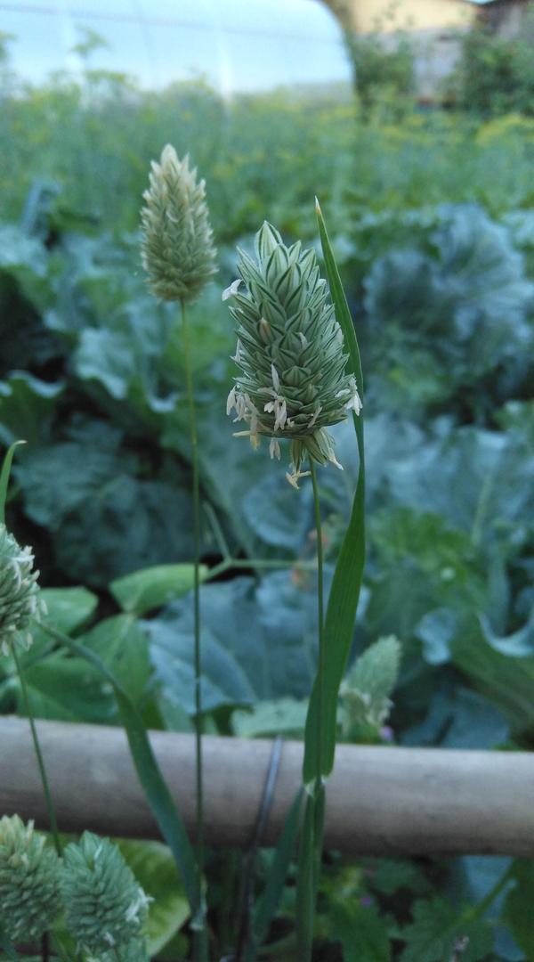 Необычное злаковое растение