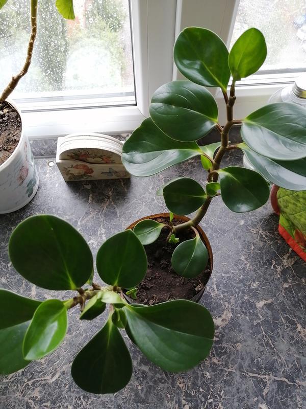 Листья плотные,твёрдые, толстенькие