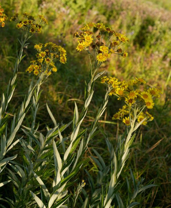 Цветущее луговое растение