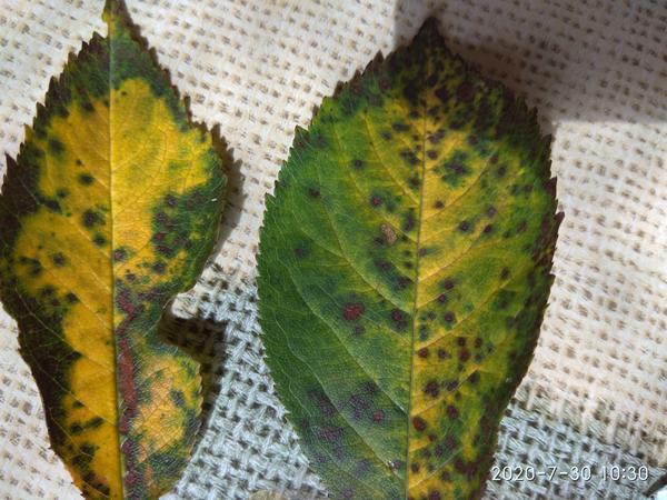 Так выглядят листья деревс
