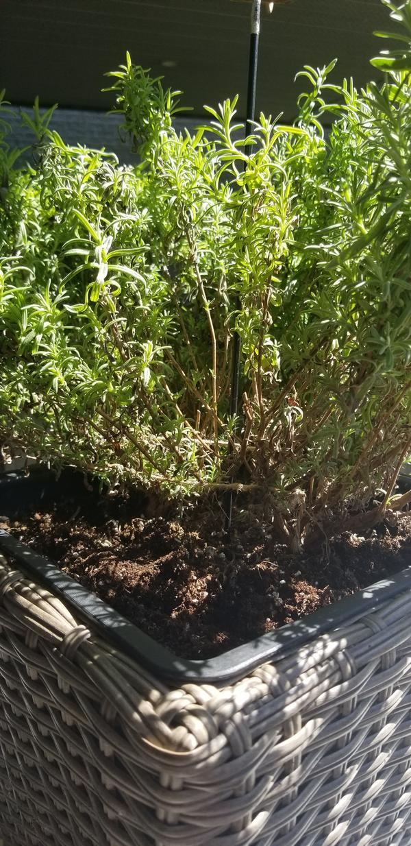 Сохнут листья у лаванды в горшке. В чем причина?