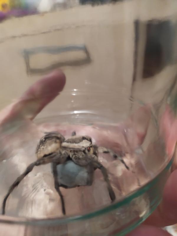 Доброго времени суток! Что за паук кто знает? Крупный, где-то 2.5-3 см