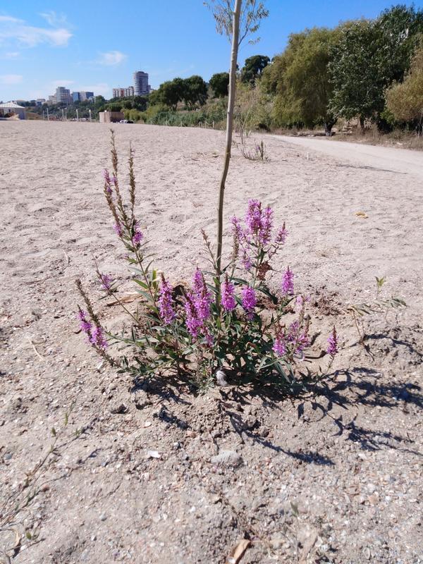 Это растение похоже на Иванчай