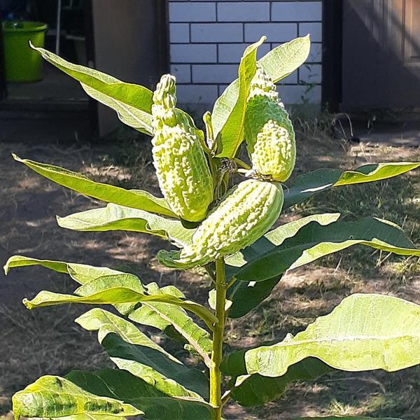 Высокое растение с плодами, похожими на огурец