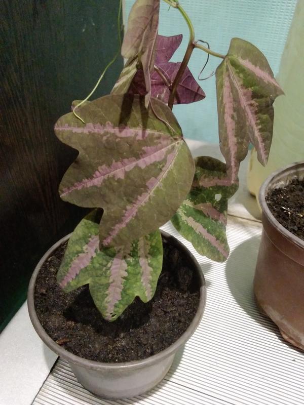 Космнатное растение.