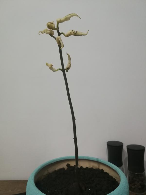 Росток авокадо, около 3-ёх месяцев