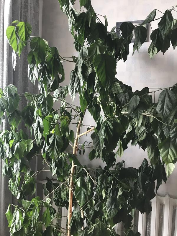 После пересадки в больший горшок гибискус начал вянуть. Как спасти растение?