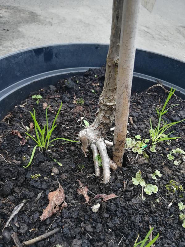 У штамбовой гортензии скелетные корни растут на уровне корневой шейки. Покупать такую?