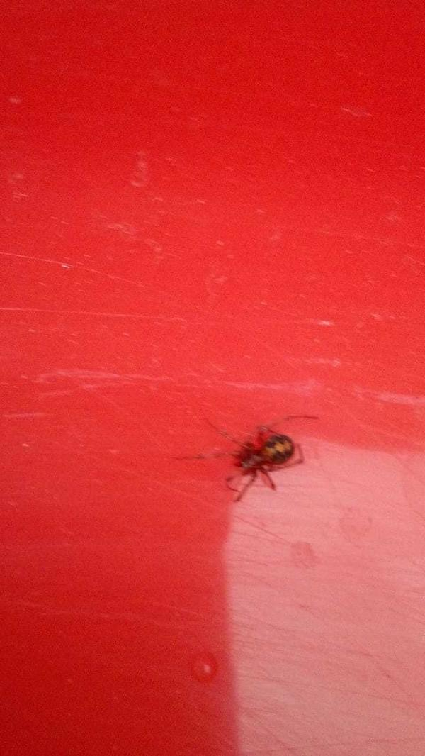 В квартире обнаружен такой паук с тремя точками на спине. В интернете не могу найти похожих. Кто знает его название?