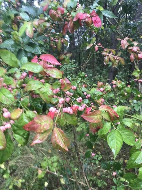 Куст в лесу с розовыми плодами (в сентябре); плод состоит из сросшихся 2-4 долек; в дольках семечко, покрытое ярко-оранжевой мякотью.