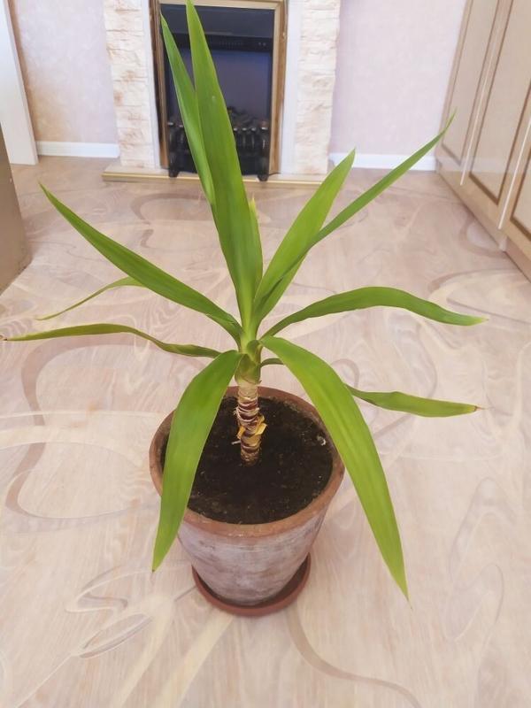 Добрый день, уважаемые знатоки! Растение похоже на панданус, но листья более светлые, не такие длинные, растут больше вверх и не такой колючий. Подскажите название.