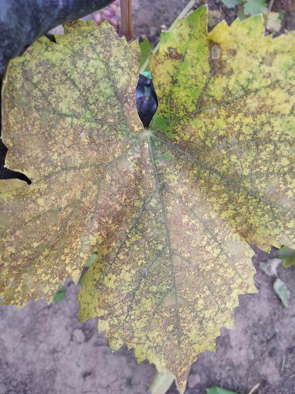 Листья винограда покрылись коричневыми пятнами. Какое это заболевание?