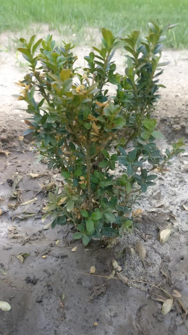 У самшита листья начали желтеть и засыхают целые веточки. Что нужно предпринять?
