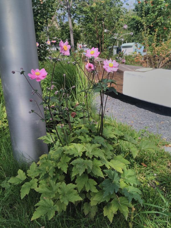 Растение вероятно многолетник,цветы похожи на однолетние георгины .Увидели в парке Зарядье
