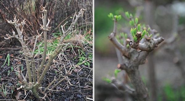 Обрезка в марте (слева) и набухание почек в апреле (справа)