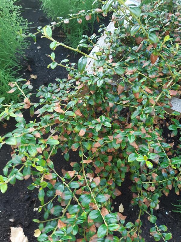 Почему изменили цвет листья кизильника?