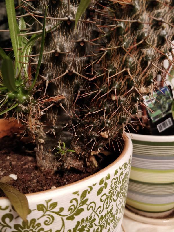 На стволе пахиподиумума образовываются наросты. Что происходит с растением?