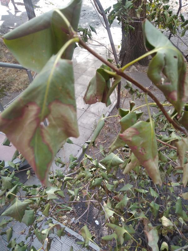 Листья сирени покрыты пятнами. Можно ли это вылечить?
