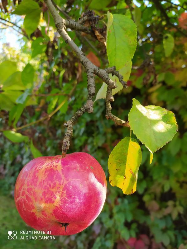 Какой на фотографии сорт яблони?