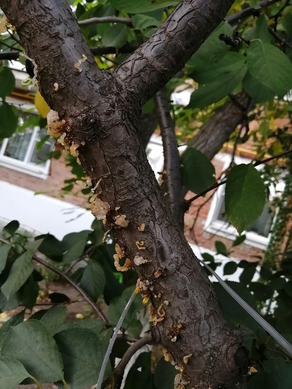 Белые выделения на стволе вишни: что за болезнь и как бороться?