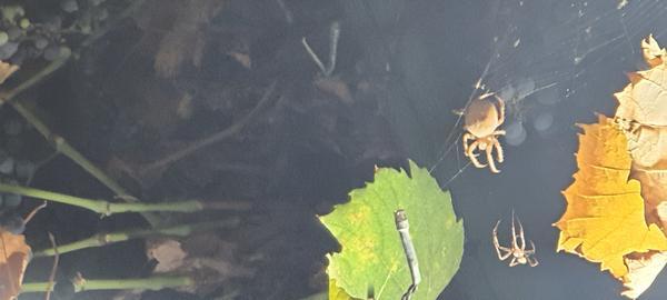 Что это за паук??? На фото видно, что самка больше виноградины. Диаметр примерно 2 5см Они опасны?