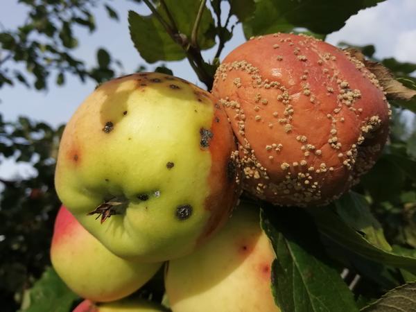 Плод груши заболевшей и здоровой