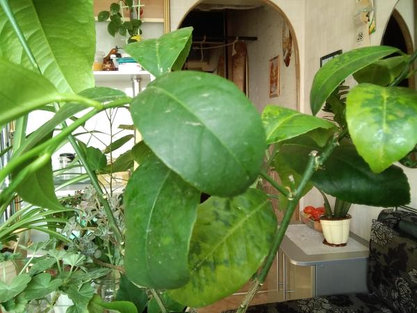 У лимона Мейера листья покрываются желтовато-бурыми пятнами. Что это может быть?