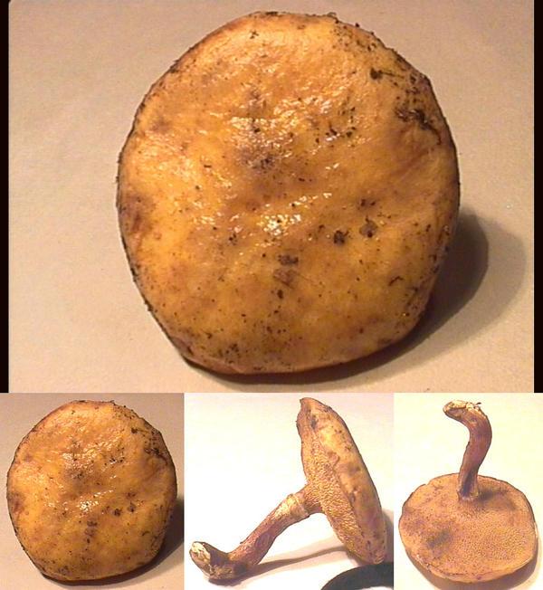 «Suillus sibiricus» («Маслёнок сибирский»)?
