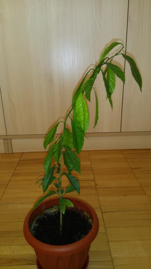 Почему мандарин растет после обрезки в одну сторону?
